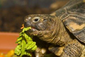 żółw-jedzący-sałatę-300x200[1]
